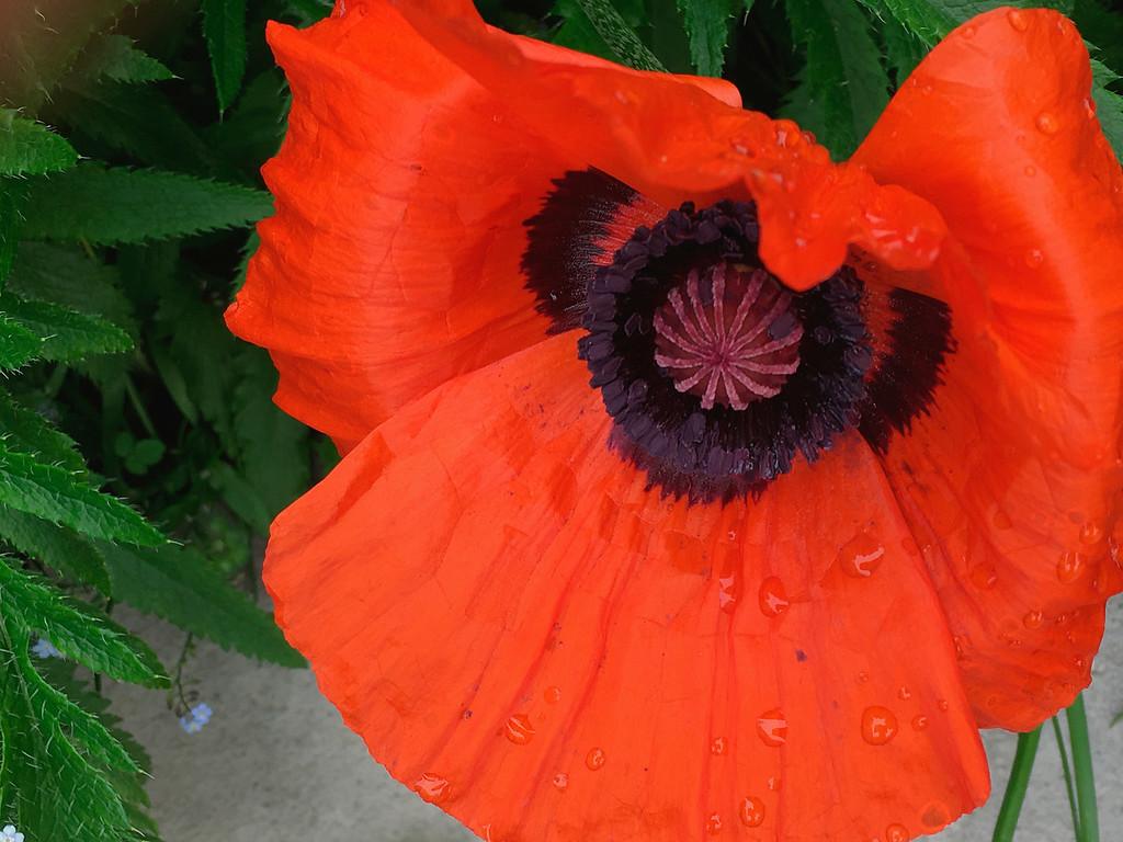 Poppy our garden