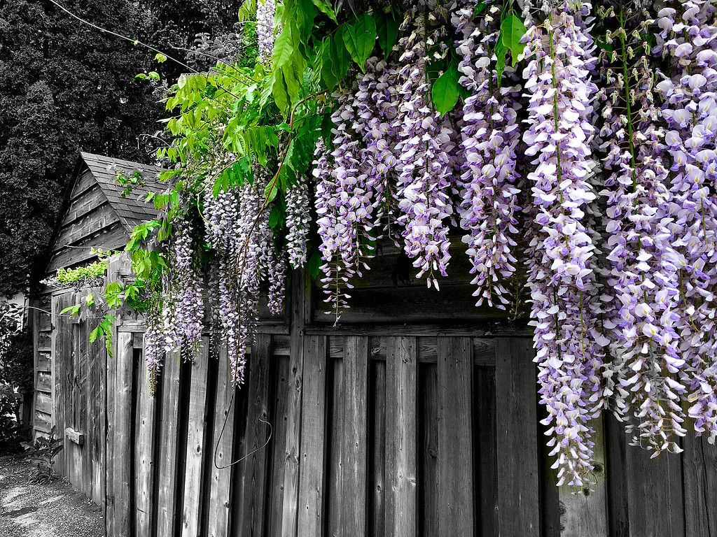 Wisteria  across the street.  watch this daily.  Photoshop history brush used after converting whole picture to B & W