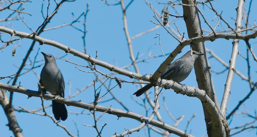 catbird pair