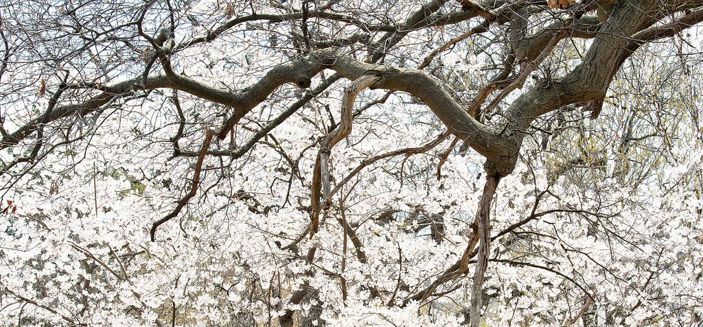 High Park Sekura cherry trees