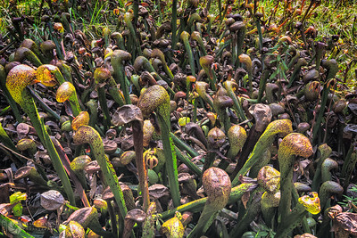 Serpentine fen with Darlingtonia californica, Del Norte County, California.