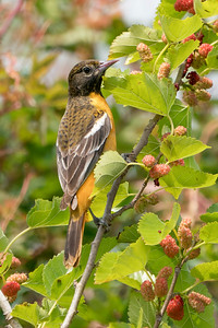 Baltimore Oriole-young male