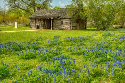 Bluebonnets Around Austin's Cabin