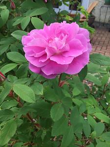 My Blooming Garden #1 June 14 2020 by Judy Baker