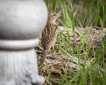 Back Yard Birds May 2020 by Barry Headrick