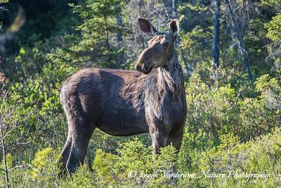 Cow moose in afternoon sun