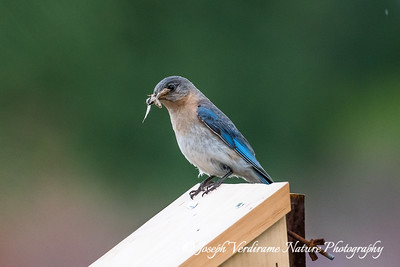 Female Eastern Bluebird on nesting box