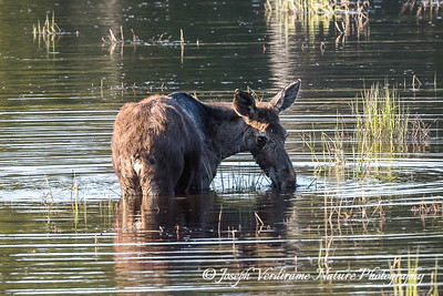 Young cow moose in Algonquin lake