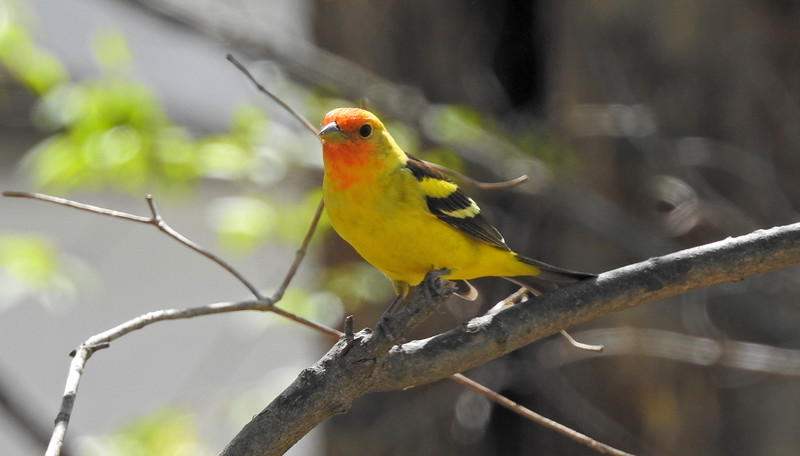 Western Tanager (observed at a private residence, St. Louis County, MO. - 4/16/19) - Life Bird