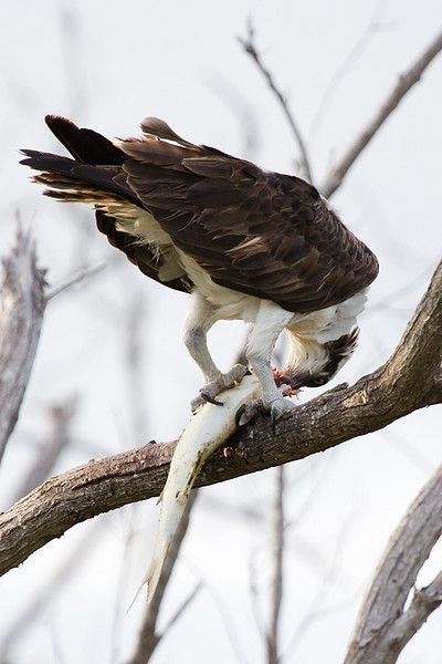 An osprey eating a fish it just caught.
