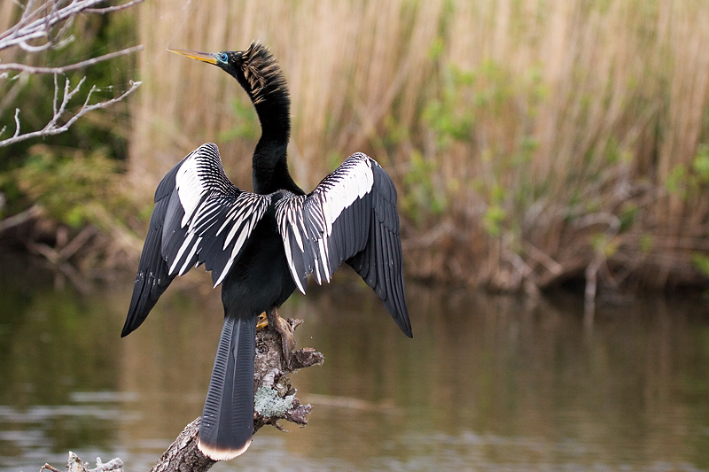An anhinga perched on a tree, drying itself after a swim.