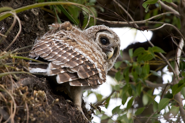 A young barred owl in the Mahogany Hammock.