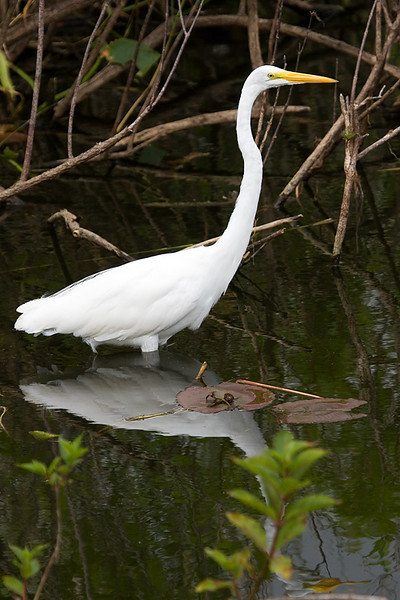 A great egret wading in the water, looking for small fish and avoiding the alligators.