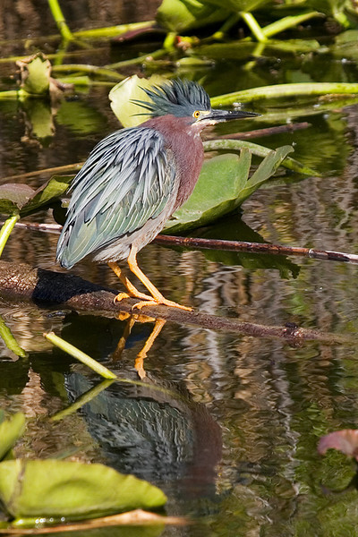Green heron on a log.