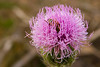Bee in a thistle flower.