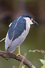 A black-crowned night heron perched on a branch.