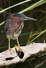 A green heron standing on a limb looking for food.