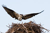 An osprey landing in its nest with its chick.