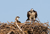 An osprey in its nest with its chick.