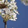 Pear Tree Blossoms with Blue Sky IV