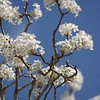 Pear Tree Blossoms with Blue Sky II