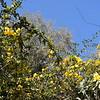 Wild Jasmine on Palmetto Trail SC III