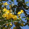 Wild Jasmine on Palmetto Trail SC I