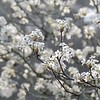 Pear Tree Blossoms on Foggy Morning