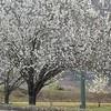 Pear Trees Bloom in Hattiesburg II