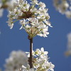 Pear Tree Blossoms with Blue Sky V