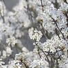 Pear Tree Blossoms on Foggy Morning I