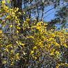 Wild Jasmine on Palmetto Trail SC II