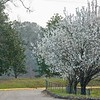 Pear Trees Blooming in Hattiesburg Mississippi