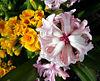 Hyacinth and Primula