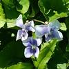 Viola sororia, Confederate violet