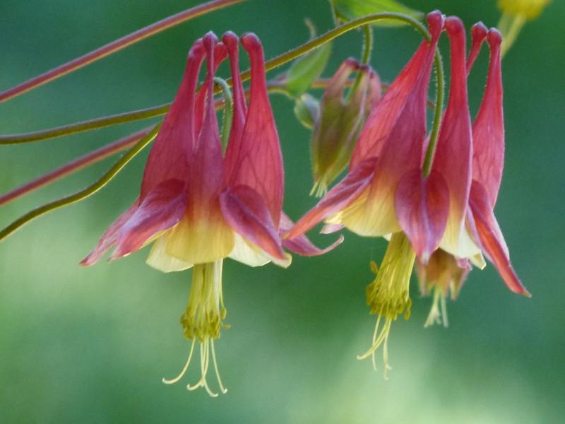 Aquilegia canadensis, Wild columbine, Eastern red columbine