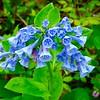 Mertensia virginica, bluebells