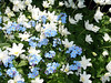 Anemone nemorosa & Forget me not