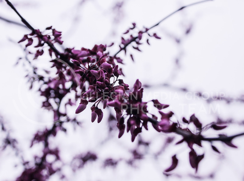 Some flowers are beginning to bloom on Thursday, April 8, 2021 on K-State's campus and around town. (Kaylie McLaughlin | Collegian Media Group)