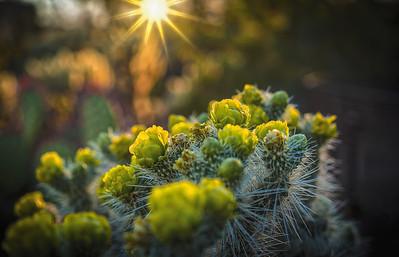 Cactus Bloom Sunset