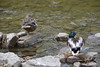 Toronto - Humber Ducks