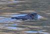 Toronto - Humber Beaver