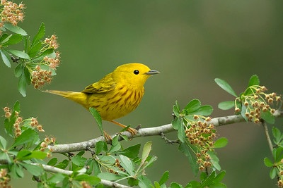 Yellow Warbler Galveston, TX