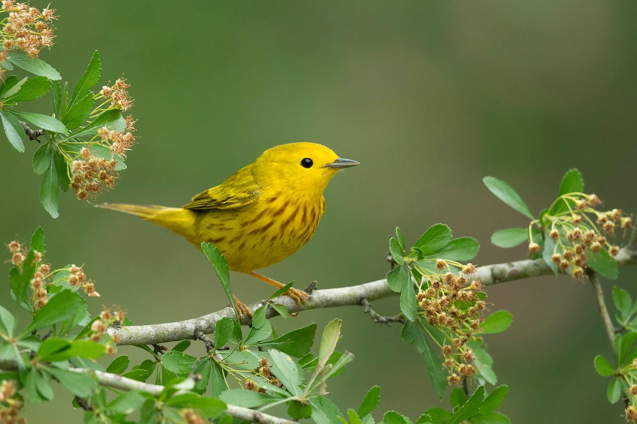 Yellow Warbler Galveston, TX