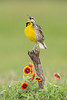 Eastern Meadowlark Galveston, TX