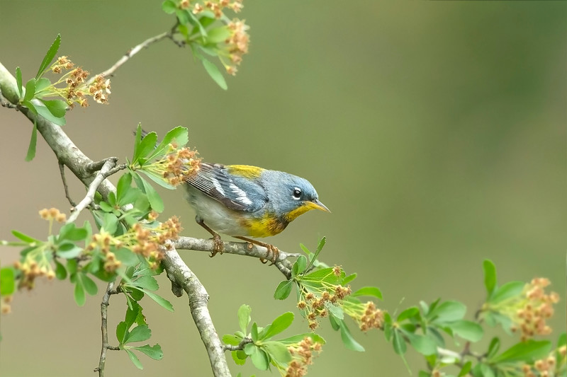 Northern Parula Galveston, TX