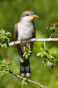Yellow-billed Cuckoo Galveston, TX