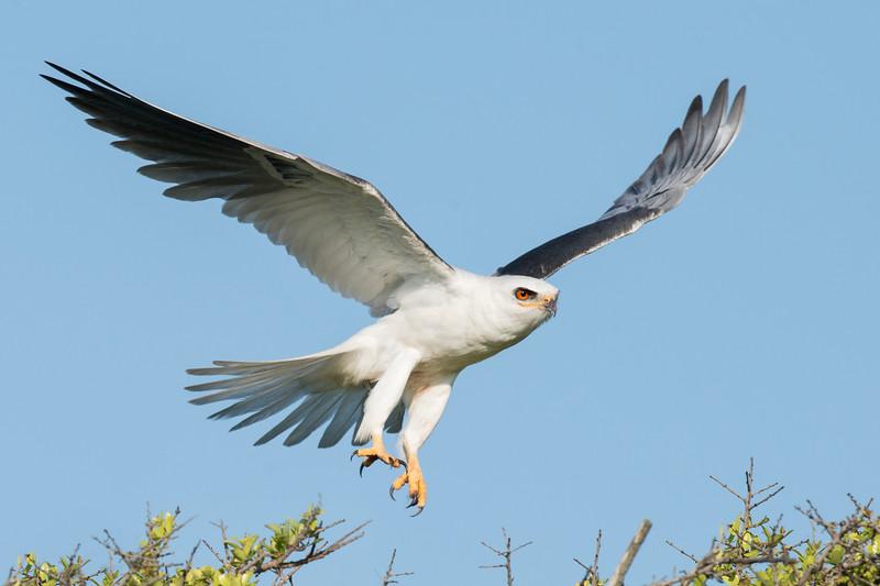White-tailed Kite Galveston, TX