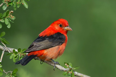 Scarlet Tanager Galveston, TX