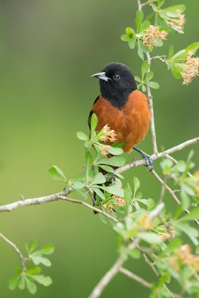 Orchard Oriole Galveston, TX